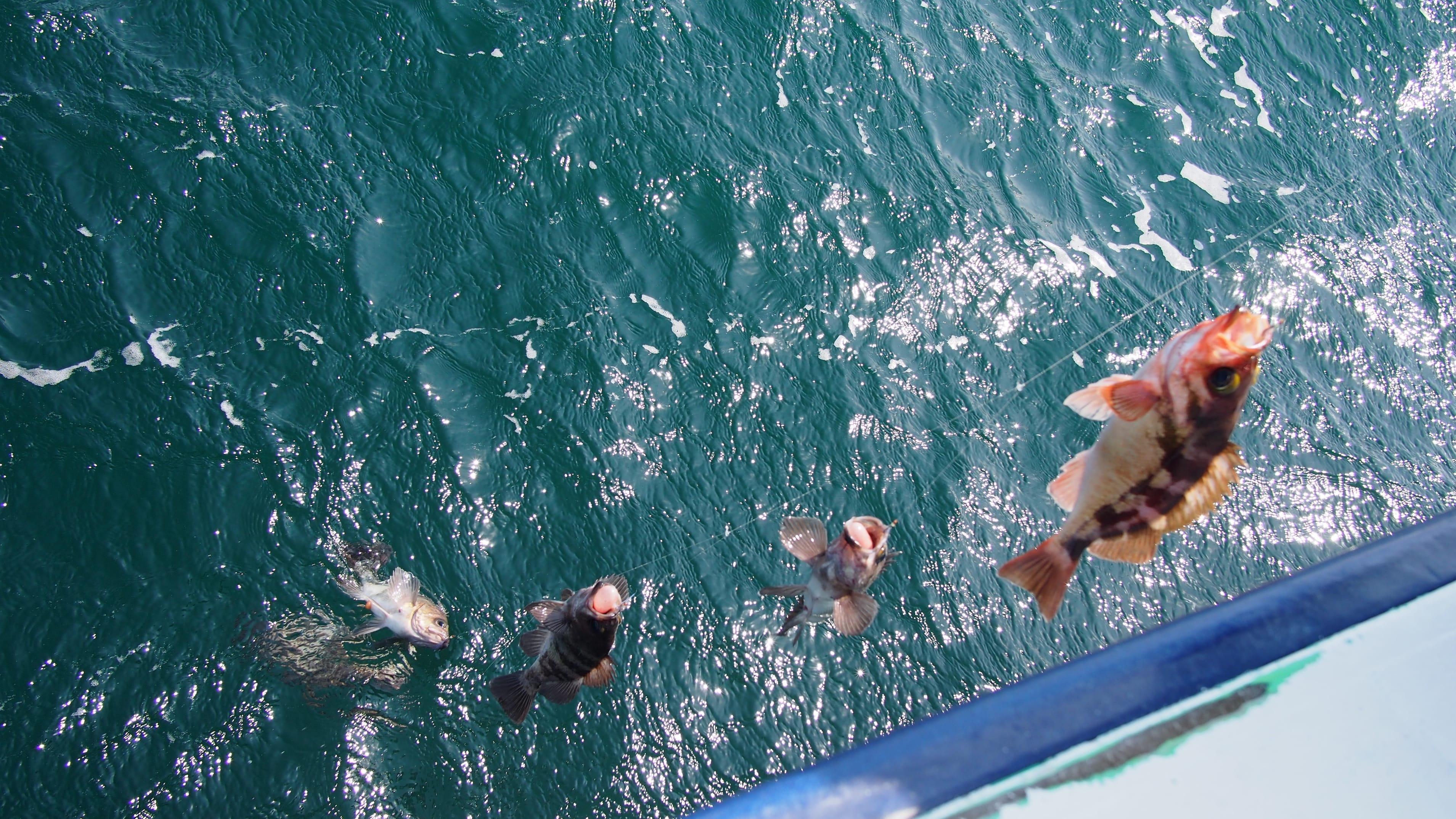 福島沖では漁業資源が回復しておりメバルも爆釣!