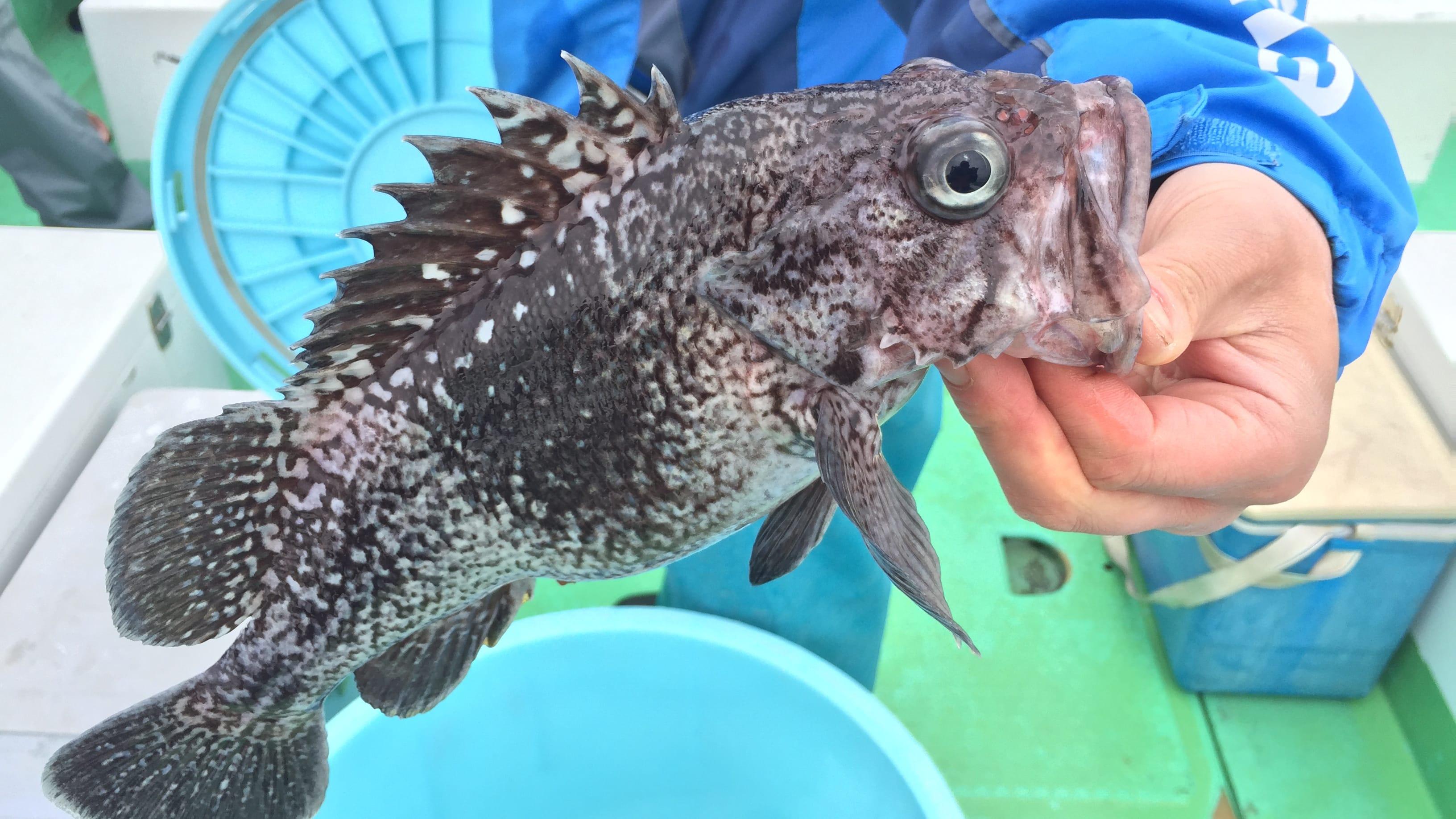 こちらはマゾイ。とてもおいしい魚だが、試験操業の対象になっておらず食べられない。