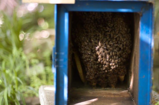 蜂洞を下からみると、ニホンミツバチたちが働いていました。