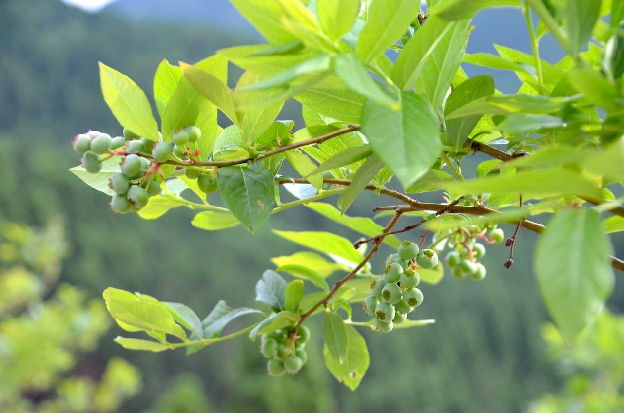 ブルーベリーを栽培(デザート予定)