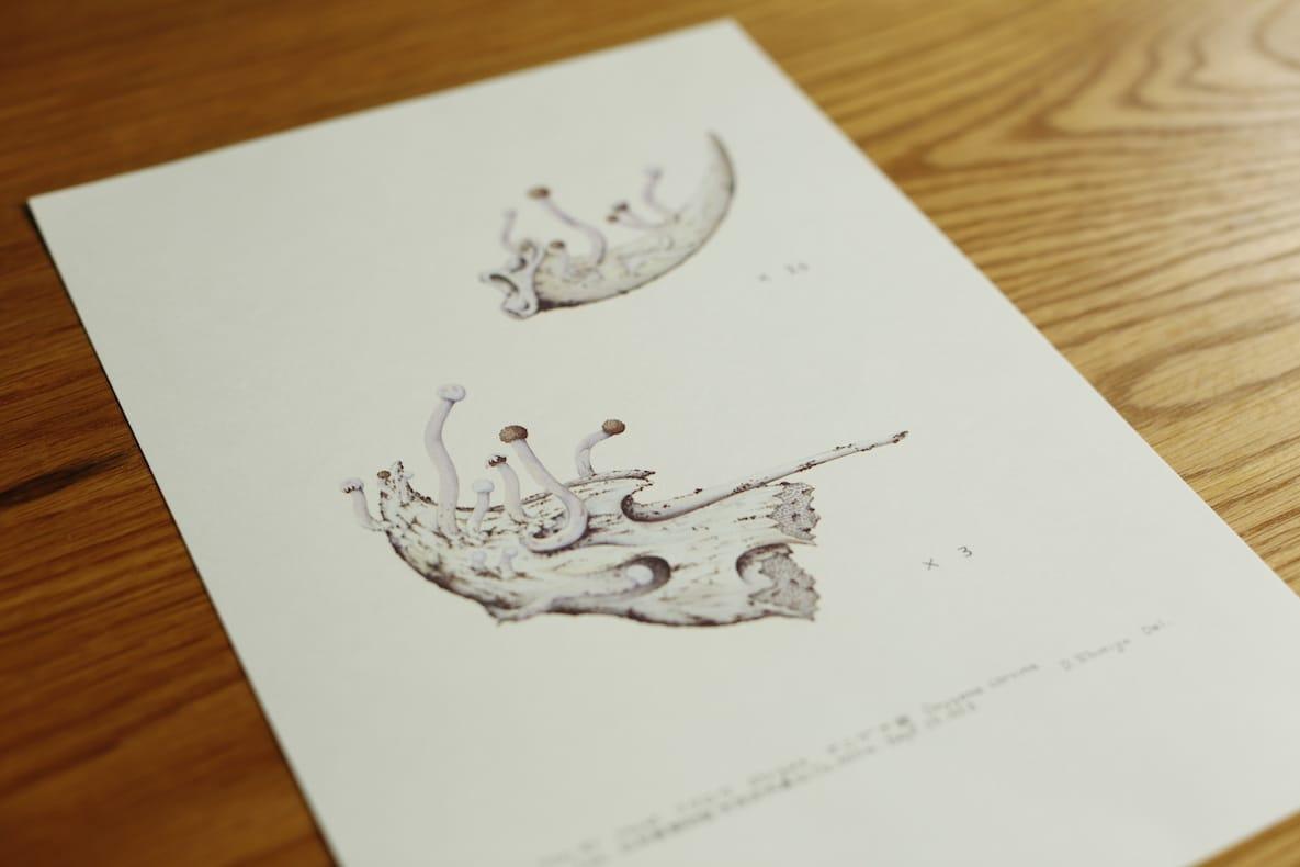 坂本さんがお店の奥から出してきてくれた、冬虫夏草を研究していた米沢市在住の故・清水大典さんの絵。ネズミのヒゲを使った自作の筆で描かれているという。お店のあちこちに貴重な資料が大切に保管されている。