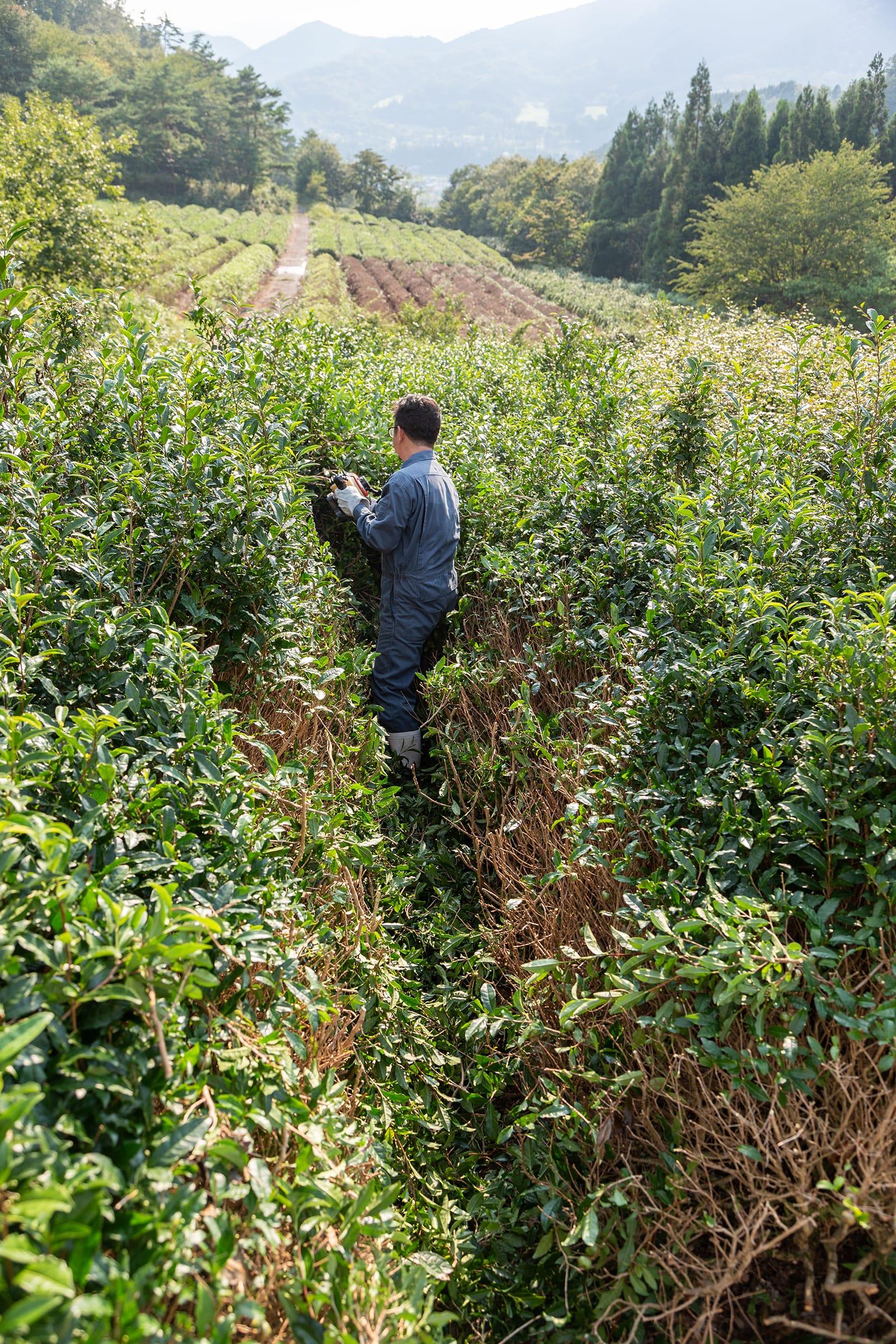 背丈を超えるほどの高さまでのびた茶葉を、整枝機で刈り取っていく。茶摘みは2人での作業が必要なため、SNSでアルバイトを募集。そんなフットワークの軽さも野村さんらしい。